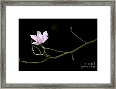 Magnolia Campbellii Darjeeling Flower Framed Print by Tim Gainey