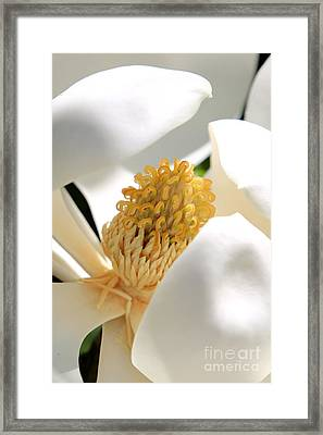 Magnolia Center Framed Print by Carol Groenen