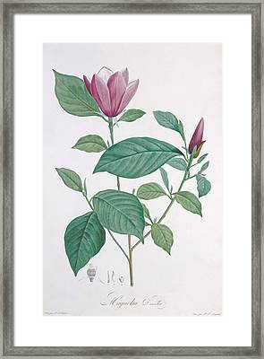Magnolia Discolor Engraved By Legrand Framed Print by Henri Joseph Redoute