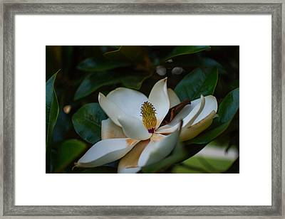 Magnolia Flower Framed Print