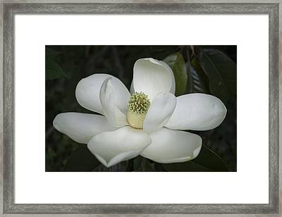 Magnolia Grandiflora Blossom - Simply Beautiful Framed Print