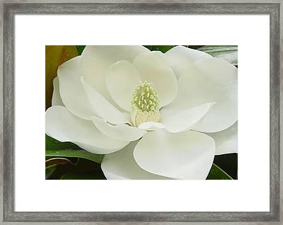 Magnolia Grandiflora II Framed Print by Suzanne Gaff