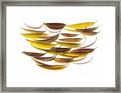Magnolia Grandiflora02 Framed Print by Stefano Bertolucci