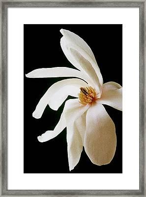 Magnolia II Framed Print
