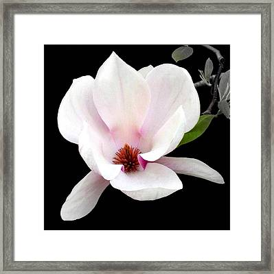 'magnolia In Bloom' Framed Print