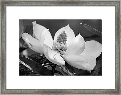 Magnolia In May - Black And White Framed Print
