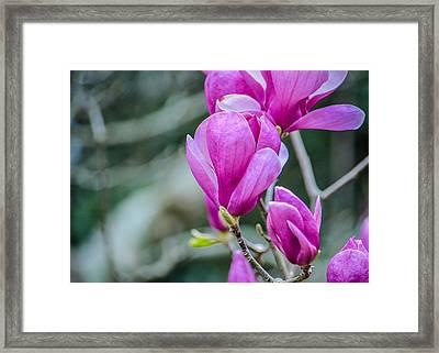 Magnolia Framed Print by Jon Woodhams