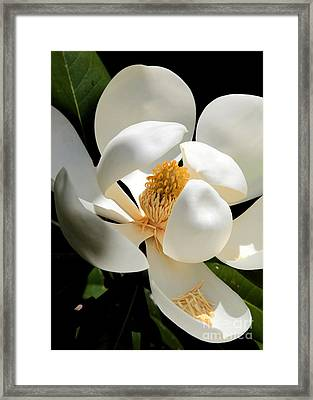 Magnolia Macro Framed Print by Carol Groenen