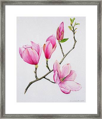 Magnolia Framed Print by Sally Crosthwaite