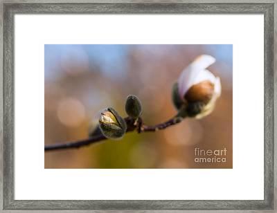 Magnolia Season II Framed Print by Mary  Smyth