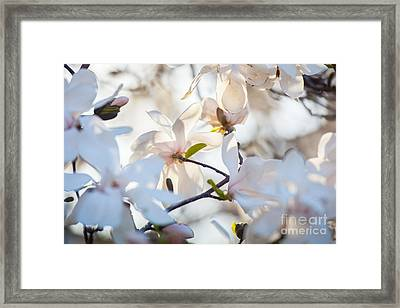 Magnolia Spring 3 Framed Print by Susan Cole Kelly Impressions