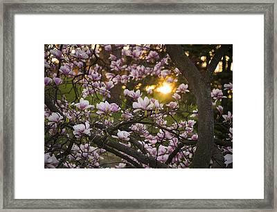 Magnolia Sunrise Framed Print by Tracy Munson