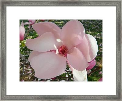 Magnolia Surprise Framed Print