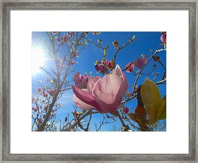 Magnolia Tree 1 Framed Print