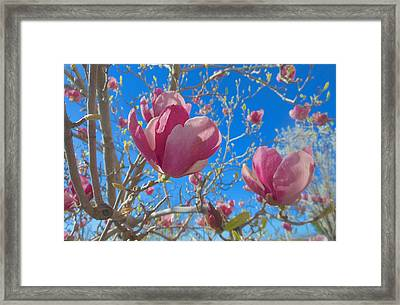 Magnolia Tree Blossoms 2 Framed Print