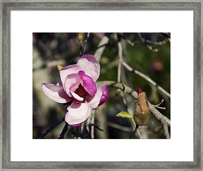Magnolia Tree Flower And Bud Framed Print by Chris Flees