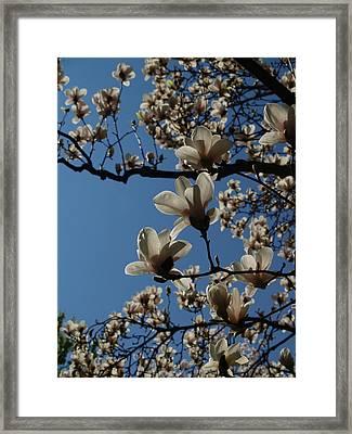Magnolia Tree Framed Print by Rita Haeussler