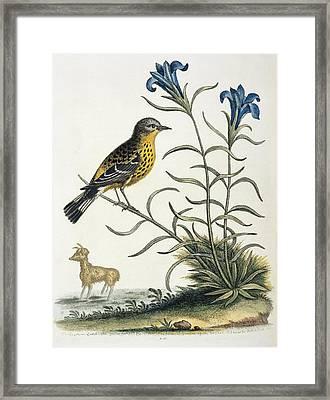 Magnolia Warbler, 18th Century Artwork Framed Print