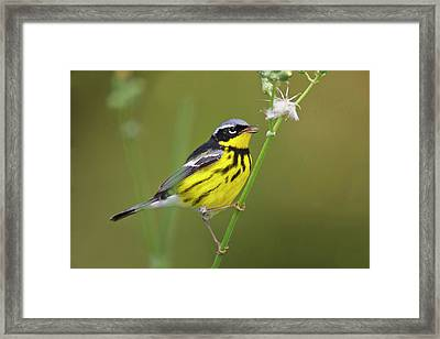 Magnolia Warbler (dendroica Magnolia Framed Print by Larry Ditto