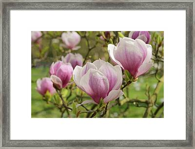 Magnolia X Soulangeana Flowers Framed Print by Jane Sugarman