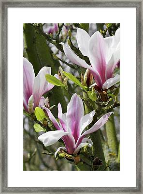 Magnolia X Soulangeana 'picture' Framed Print by Jane Sugarman