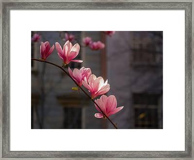 Magnolia's Descent Framed Print