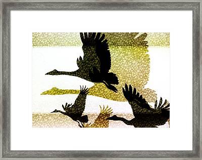 Magpie Geese In Flight Framed Print