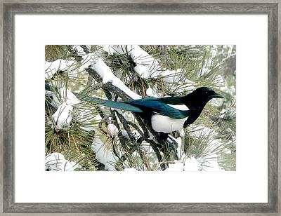 Magpie In The Snow Framed Print by Marilyn Burton