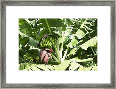 Mai'a - Organic Banana Framed Print