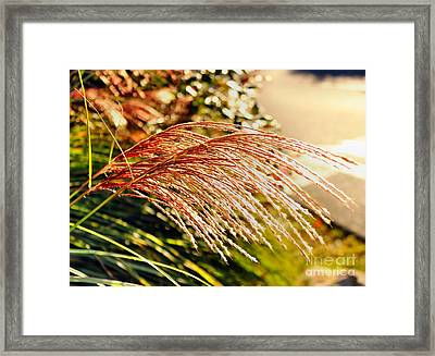 Maiden Seagrass Flower Head Framed Print