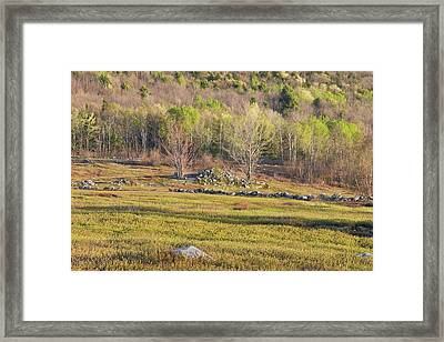 Maine Blueberry Field In Spring Framed Print