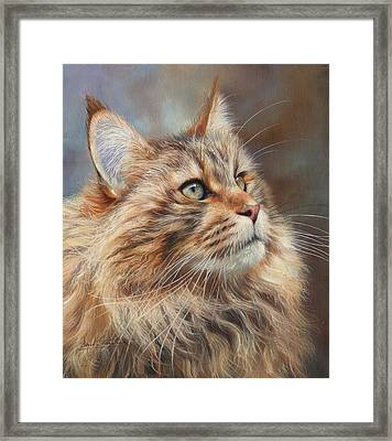 Maine Coon Cat Framed Print by David Stribbling