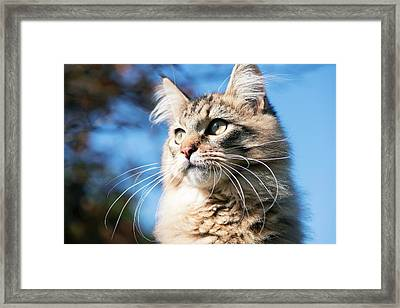 Maine Coon Cat Framed Print by Louise Murray