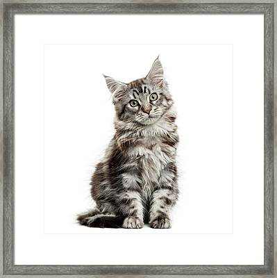 Maine Coon Kitten In Front Of White Framed Print by Life On White