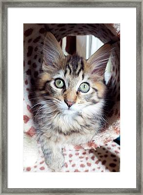 Maine Coon Kitten Framed Print by Louise Murray