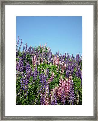 Maine Lupine Framed Print by Christopher Mace