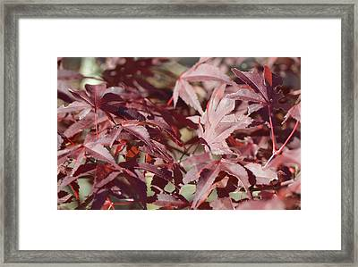 Maine Maple Leaves Framed Print by Lena Hatch