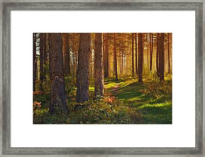 Maine Pine Forest Bathed In Light Framed Print