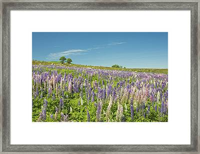 Maine Wild Lupine Flowers Framed Print