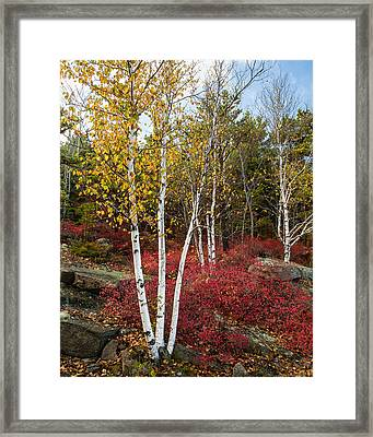Maine's Acadia National Park White Birch Tree Photo Framed Print by Bill Swindaman