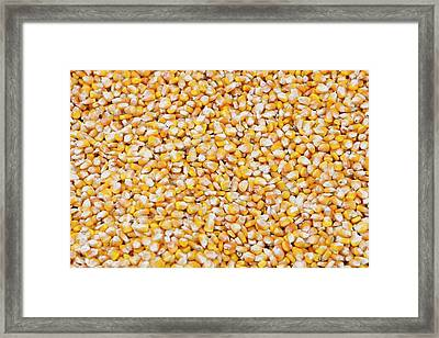 Maize Crop Framed Print by Ashley Cooper