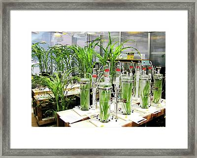 Maize Laboratory Research Framed Print by Eric Schmelz/us Department Of Agriculture