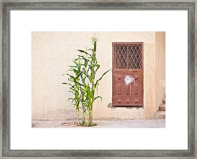 Maize Plant Framed Print