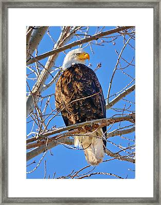 Majestic Bald Eagle Framed Print by Greg Norrell