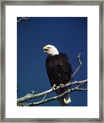 Majestic Bald Eagle Framed Print by Retro Images Archive