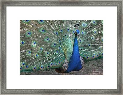 Majestic Bird Framed Print by Dervent Wiltshire
