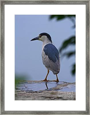 Majestic Black Capped Night Heron At Dusk Framed Print