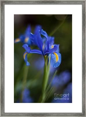 Majestic Blue Iris Framed Print by Mike Reid