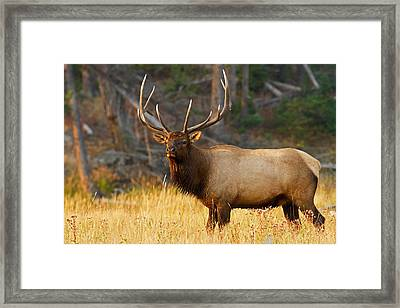 Majestic Bull Elk Framed Print