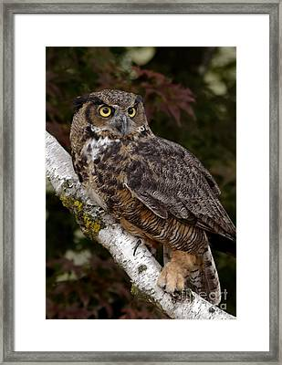 Majestic By Nature Great Horned Owl In A Birch Tree Framed Print by Inspired Nature Photography Fine Art Photography